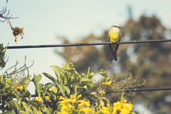 Tropical Kingbird Royalty Free Stock Image