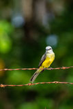 Tropical Kingbird Royalty Free Stock Photography