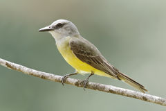 Tropical Kingbird Tyrannus melancholicus perched on a branch - Stock Photo