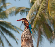 Tropical Kingfisher Royalty Free Stock Image
