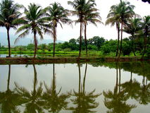 Tropical Lake. Coconut trees and their reflection in a lake, in the Indian tropics Royalty Free Stock Image