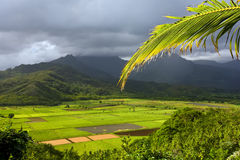 Tropical Landscape. Bright leaves of the taro fields in Hanalei Kauai with mountains in the background Royalty Free Stock Photos