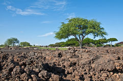 Tropical Landscape with Big Tree and Lava Rock Stock Photos