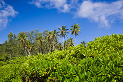 Tropical landscape, coconut palm trees ans bushes with blue sky Royalty Free Stock Photography