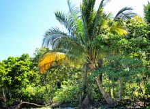 Tropical landscape . Farm of coconut trees . Royalty Free Stock Images