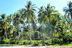 Tropical landscape . Farm of coconut trees . Stock Images