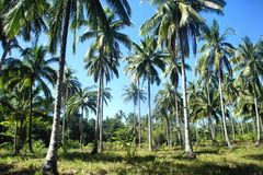 Tropical landscape . Farm of coconut trees . Stock Image