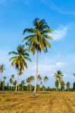 Tropical landscape of a palm tree Royalty Free Stock Photo