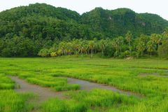 Tropical landscape with rice field. Inland of the island of Siargao, Philippines Stock Photo
