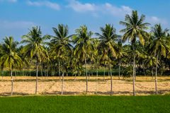 Tropical landscape in sunny day. Indian countryside with palm trees stock photo
