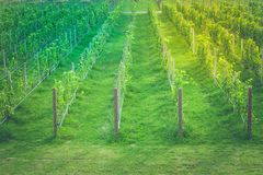 Tropical landscape view rows of green grapes vineyard at countryside. royalty free stock photos