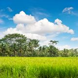 Tropical lanscape green rice filed palm trees blue sky. Tropical lanscape with green rice filed, palm trees and cloudy blue sky Stock Photo