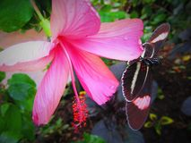 Tropical large pink flower with balancing butterfly. Large tropical pink flower with balancing butterfly. Butterfly is black and pink.  Beautiful vibrant colours Stock Photography