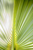 Tropical leaf. Light green Stock Photography