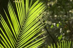 Tropical Leaf. A Green Tropical Leaf, Many Blades, Queensland, Australia Stock Photography