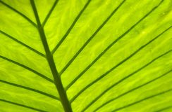 Tropical Leaf. Back lit tropical leaf for texture and background Stock Image