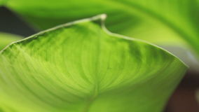 Tropical leaf. Big tropical leaves in a breeze closeup stock video