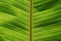 Tropical Leaf Close-up Royalty Free Stock Images