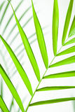 Tropical Leaf Closeup. Vibrant green tropical leaf closeup royalty free stock photos