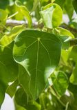 Tropical Leaf Closeup: Mystery Island. Closeup of the natural green foliage growing uncultivated on Mystery Island, Vanuatu Royalty Free Stock Image