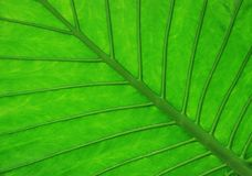 Tropical leaf detail Stock Photography
