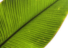 Tropical leaf detail green texture background Royalty Free Stock Image