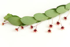 Tropical leaf-flower (Phyllanthus pulcher Wallich ex Muell. Arg.). Royalty Free Stock Photos