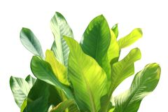Tropical leaf fresh green, tropical foliage leaves nature isolated white background for decorations garden design selective focus. The tropical leaf fresh green royalty free stock photo