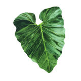 Tropical leaf illustration. Big tropical leaf isolated on white background Stock Image