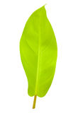 Tropical leaf isolated with clipping path Stock Images