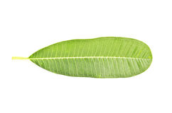 Tropical leaf isolated on white Royalty Free Stock Photo