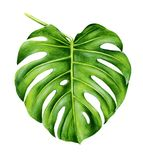 Tropical leaf of monstera. Hand painted watercolor illustration isolated on white background. Realistic botanical art. Design element for fabrics, invitations Royalty Free Stock Images