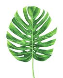 Tropical leaf of Monstera plant isolated on white background. Stock Photography