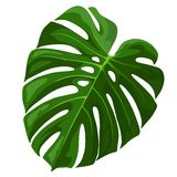 Tropical Leaf Monstera Plant isolated on white Stock Images