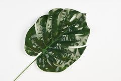 Tropical leaf of Monstera plant isolated on white. Palm Leaves close-up Stock Photos