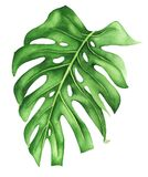 Tropical leaf of monstera, watercolor painting. Realistic botanical art. Tropical leaf of monstera, watercolor painting. Hand painted illustration isolated on stock illustration