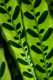 Tropical leaf pattern. Closeup of tropical leaf pattern in back lighting Stock Image