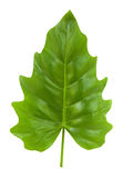 Tropical Leaf of the Philodendron isolated Stock Photo