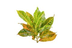 Tropical leaf plants codiaeum variegatum white background. Codiaeum variegatum tropical leaf plants codiaeum variegatum white background plants in the form of royalty free stock photography