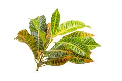 Tropical leaf plants codiaeum variegatum white background. Codiaeum variegatum tropical leaf plants codiaeum variegatum white background plants in the form of royalty free stock image