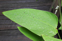Tropical Leaf with Rain Drops. A Tropical Leaf with Rain Drops Caught in the Sun's rays Royalty Free Stock Images