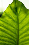 Tropical Leaf structure Stock Photos