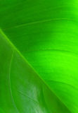 Tropical leaf texture Royalty Free Stock Photography