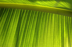 Tropical leaf texture Royalty Free Stock Image
