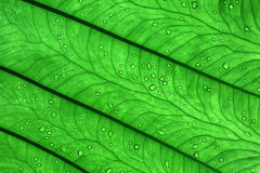 Tropical Leaf Texture Abstract Background. Royalty Free Stock Image
