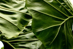 Tropical leaf texture background, stripes of dark green foliage. Elephant ear plant or caladium leaf stock image