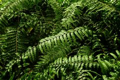 Tropical leaf texture, foliage nature green background.  stock images
