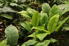 Tropical leaf texture, foliage nature green background.  royalty free stock images