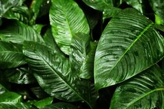 Tropical leaf texture, foliage nature green background.  stock image