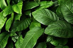 Tropical leaf texture, foliage nature green background.  royalty free stock image